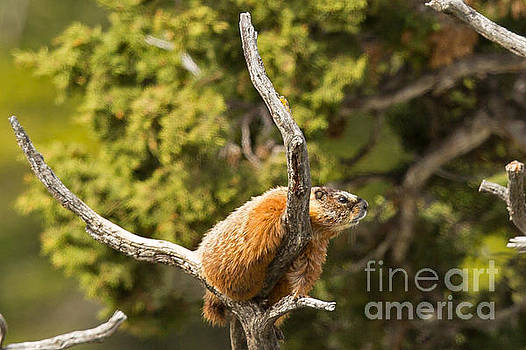 Marmot in a Tree by Natural Focal Point Photography