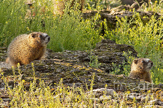 Marmot Pups by Natural Focal Point Photography