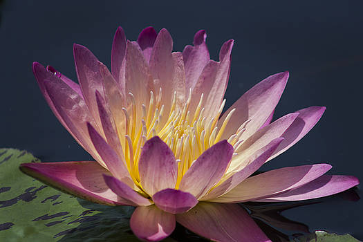 Maroon Water Lily by Mark Michel
