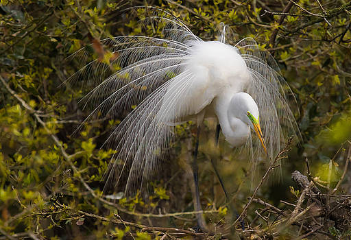 Mating Egret by Kelly Marquardt