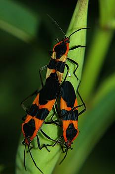 Mating Milkweed Bugs by April Wietrecki Green