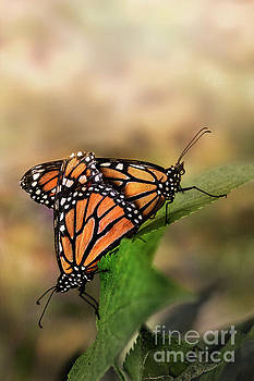Mating Monarch Butterflies by Brandon Alms