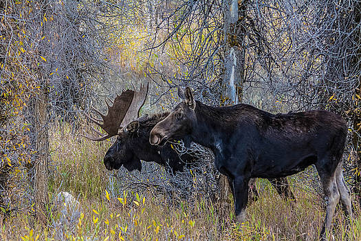 Mating Moose by Kelly Marquardt