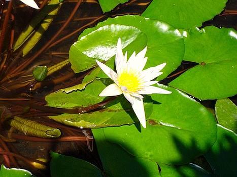 Maui Lily by Tamara Bettencourt