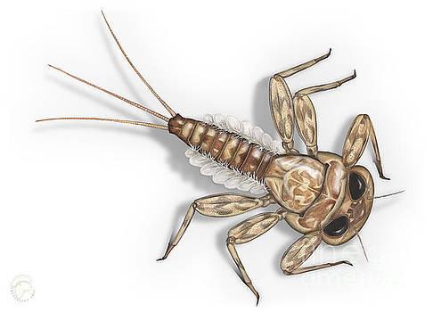 Mayfly Larva Nymph Rithorgena Ecdyonurus venosus - moscas de may by Urft Valley Art