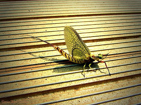 Joyce Dickens - Mayfly On The Dock