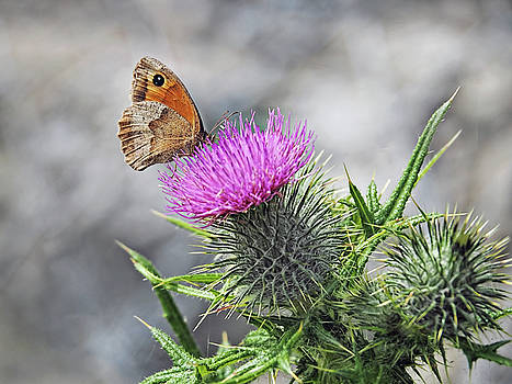 Meadow Brown On Thistles  by Susie Peek