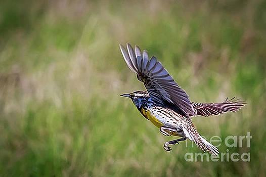 Meadowlark in Flight by John Lee