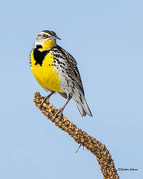 Meadowlark on Mullein Stalk by Stephen Johnson