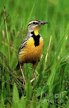 Meadowlark by Ruth Housley