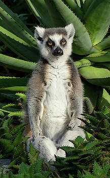 Meditating Ring-tailed Lemur by Margaret Saheed