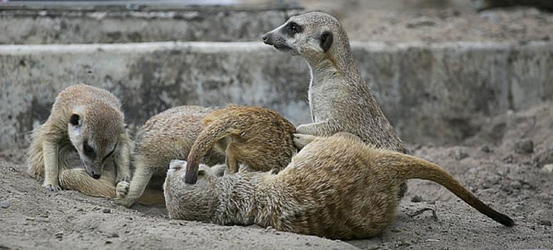 Meerkats  by Michel DesRoches