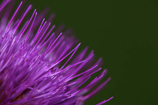 Melancholy thistle close-up by Jouko Mikkola