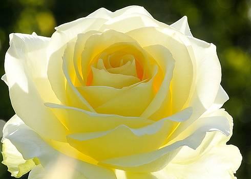Sabrina L Ryan - Mellow Yellow Rose