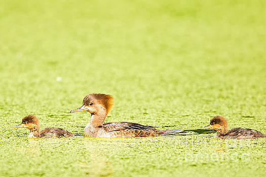 Merganser Mother and Young by Natural Focal Point Photography