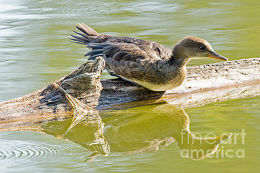Merganser Reflection by Natural Focal Point Photography