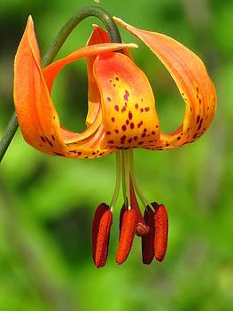 Michigan Lily by Lori Frisch