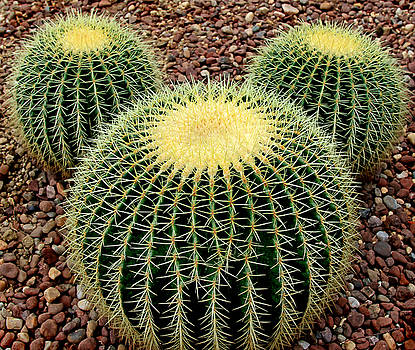 Mickey Mouse Barrel Cactus by Donna Haggerty