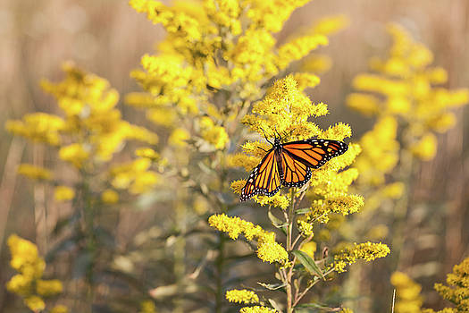 Migrating Monarch Butterfly Moses Cone Memorial Park North Carolina by Mark VanDyke