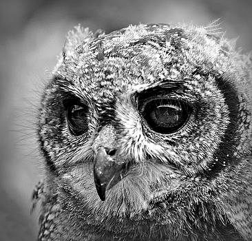 Milky Eagle Owl Black and White by Bev Brown