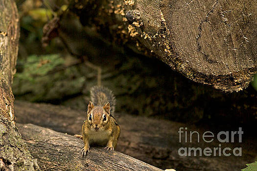 Minnesota Chipmunk by Natural Focal Point Photography