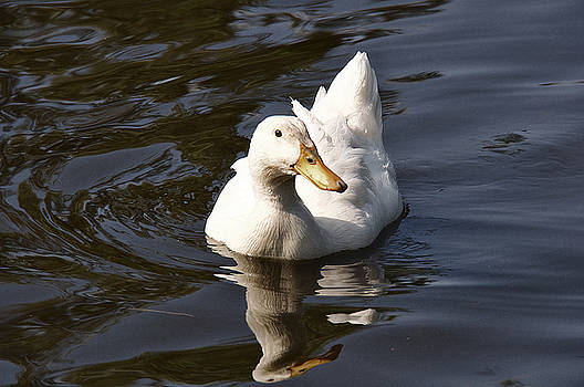 Mirrored Duck by David Resnikoff