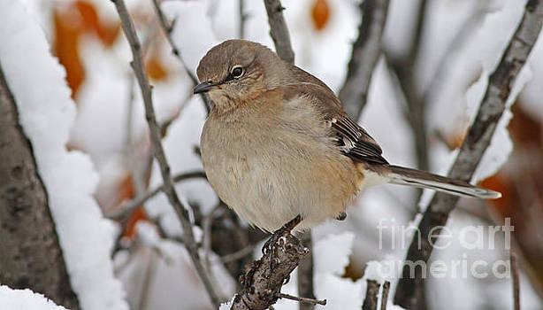 Mockingbird in Winter by Debbie Parker