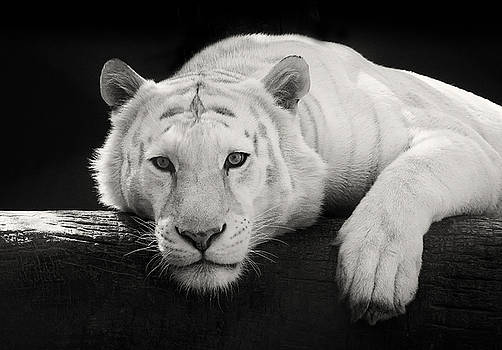 Mohan the White Tiger by Stephanie McDowell