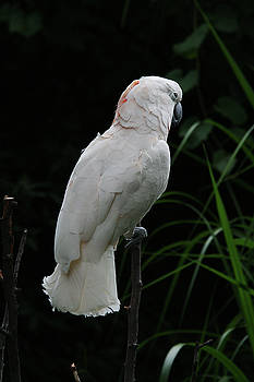 Moluccan Cockatoo #2 by Judy Whitton
