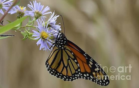 Monarch 2015 by Randy Bodkins