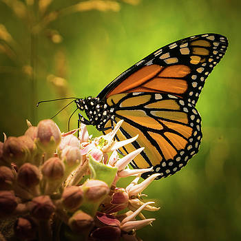 Monarch at Rancho San Rafael by Janis Knight