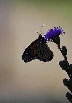 Monarch Beauty by Ramona Whiteaker