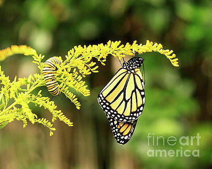 Monarch butterfly and Caterpillar on Goldenrod Flowers by Luana K Perez
