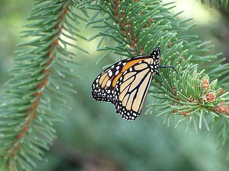 Monarch Butterfly at Rest by Rebecca Overton
