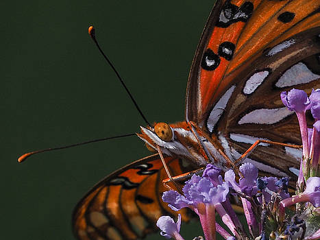 Monarch Butterfly Closeup by Paula Ponath