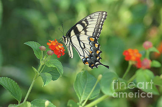 Monarch Butterfly by Debra Crank