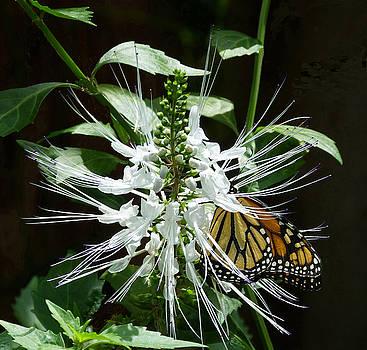 Monarch Butterfly Feeding by Margaret Saheed