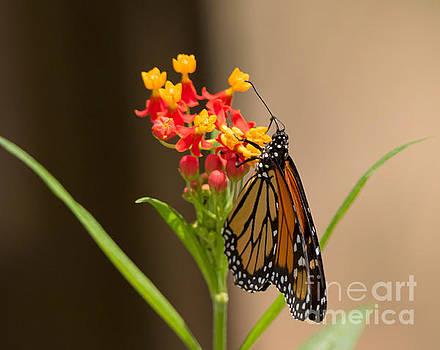 Monarch butterfly by Louise Heusinkveld