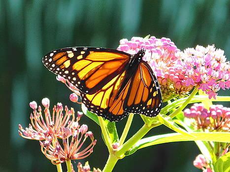 Monarch Butterfly on Pink Flowers by Nancy Spirakus