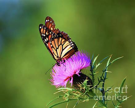 Monarch Butterfly on Thistle by Kerri Farley