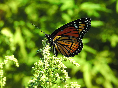 Monarch Butterfly Profile by Nancy Spirakus