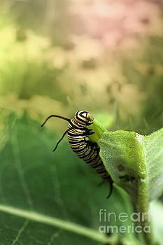 Monarch Caterpillar Chewing Milkweed Plant by Brandon Alms