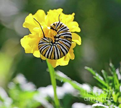 Monarch Caterpillar in Marigold Portrait by Luana K Perez