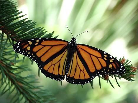 Monarch Fall Migration by Rebecca Overton