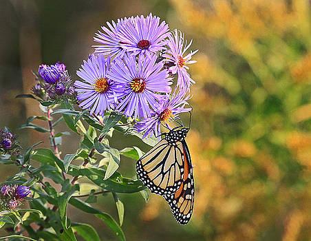 James Steele - Monarch Feeding
