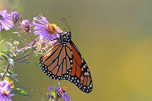 Monarch by Jim Nelson