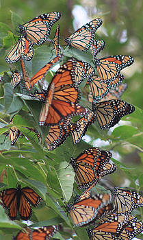 Cathy  Beharriell - Monarch Migration Cluster