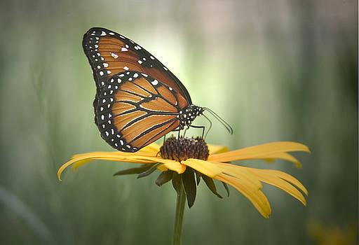 Monarch on a Daisy by Yuri Lev