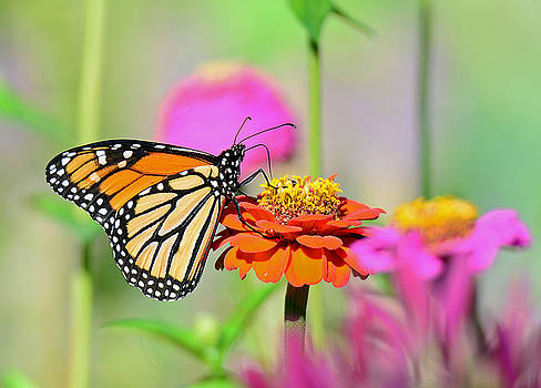 Monarch on a Zinnia by Rodney Campbell