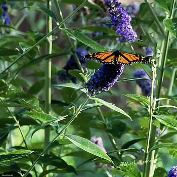 Monarch on Butterfly Bush by Mick Anderson